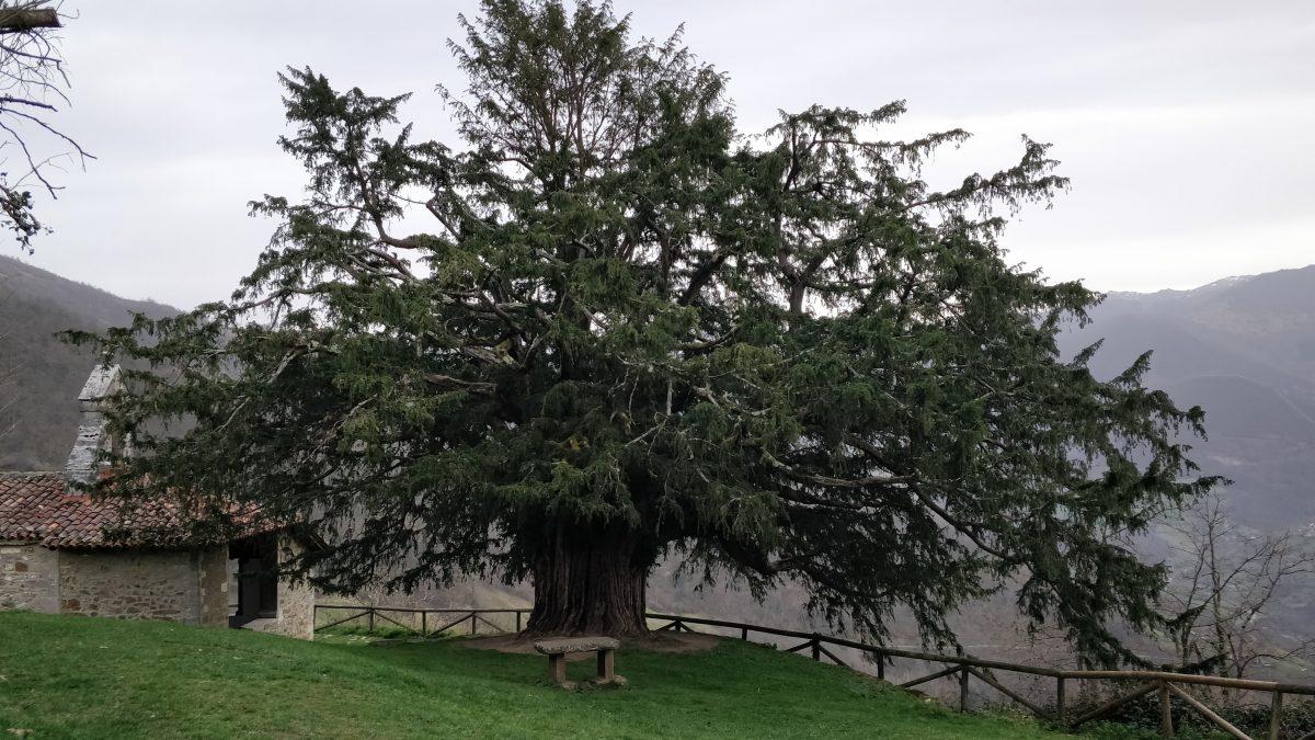 El Texu de Bermiego, un árbol milenariu