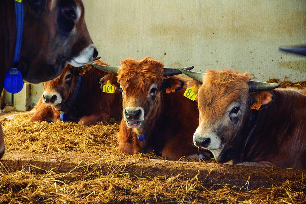 La vaca Casina, una raza de prestigio